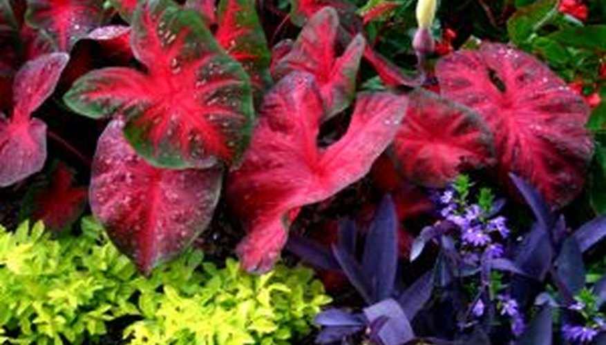 Caladiums are prized for their pink and green leaves.