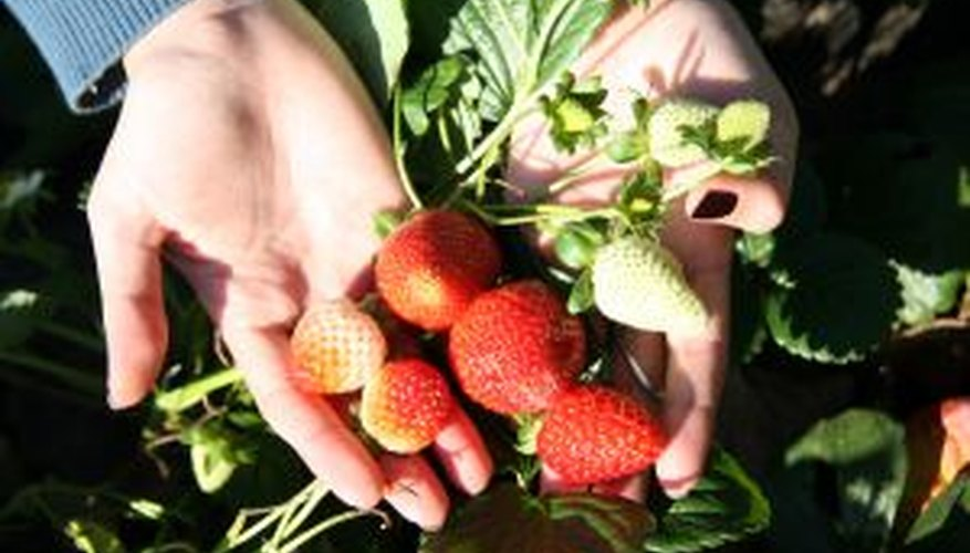 Encourage a healthy harvest of fresh strawberries.