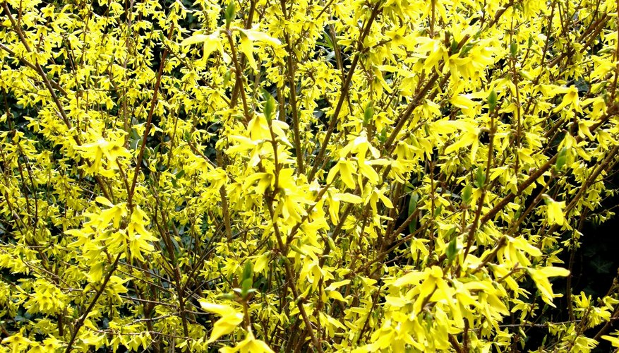 Forsythia in spring bloom.