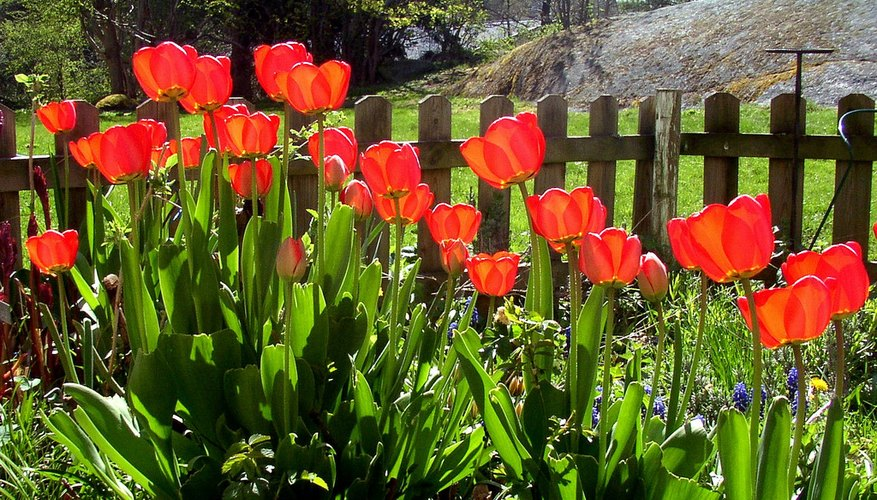 Border of red tulips