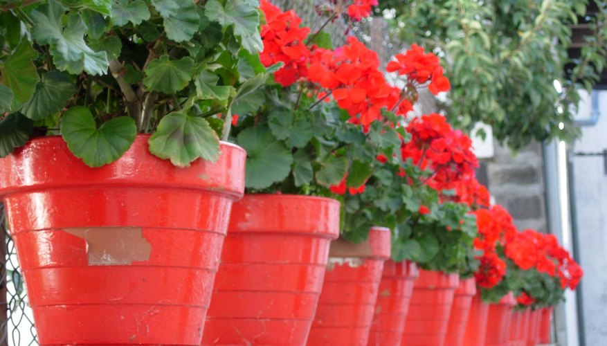 Potted red geraniums.