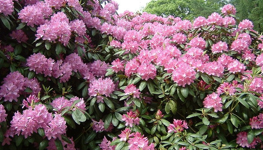 Rhododendron shrub in full bloom
