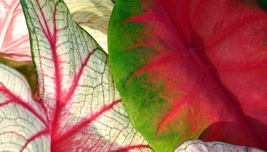 Colorful Caladiums