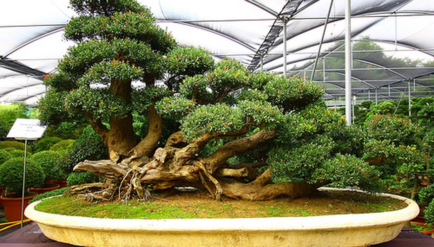 The Bonsai Experience