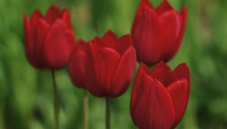 Tulips require a dormant period for successful blooming.