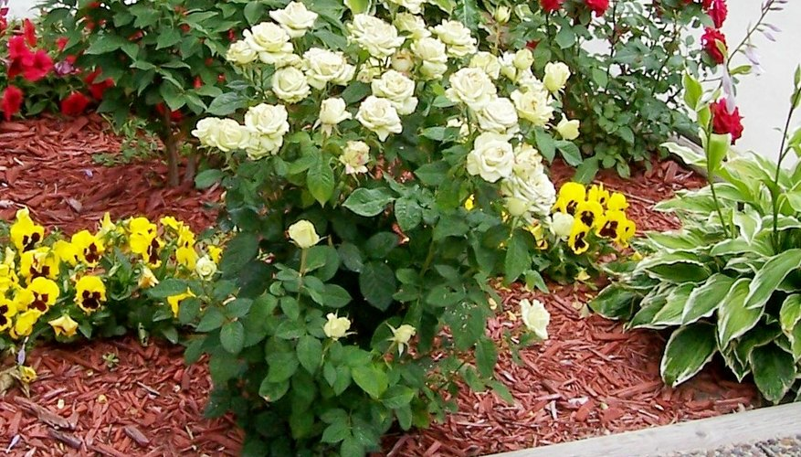 Shrub roses make good hedges and landscaping elements.