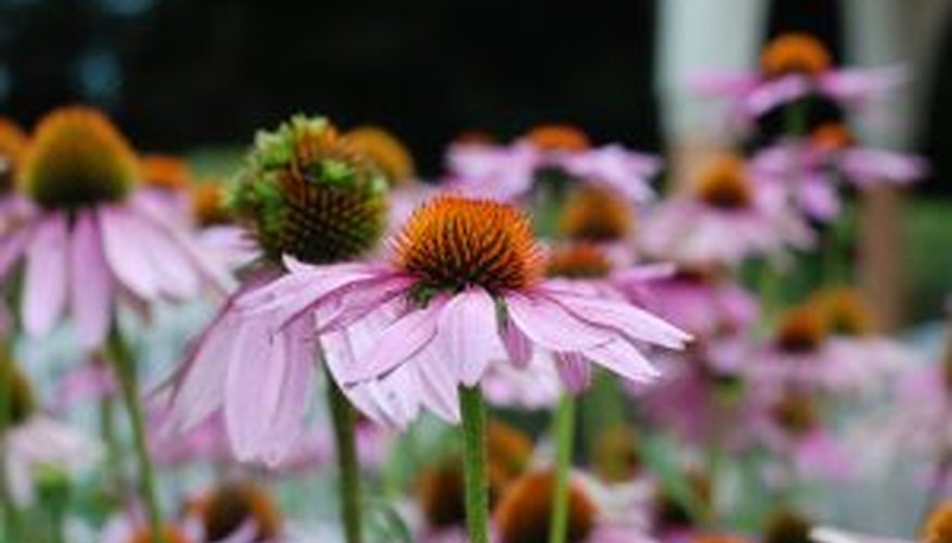 A purple coneflower bed.
