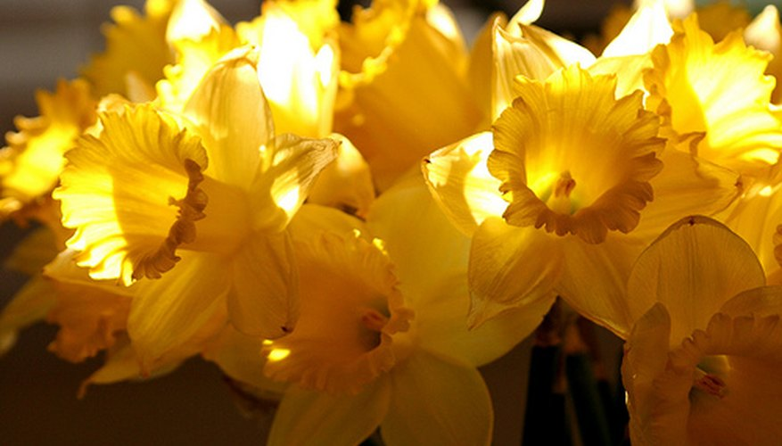Yellow daffodils in the sunshine.