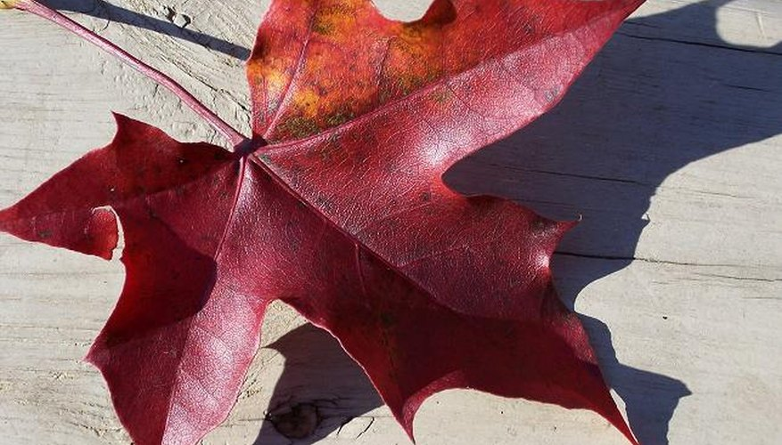 Use oak leaves to mulch---maple tannins are too acidic.