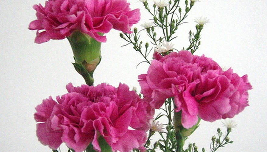 Pink carnations are popular gifts on Valentine's Day.