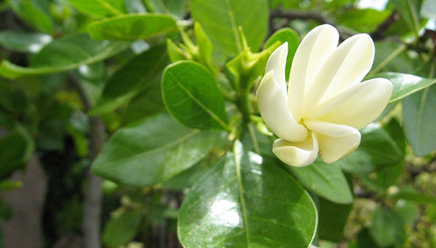 Gardenia flowers are prized for their fragrance.