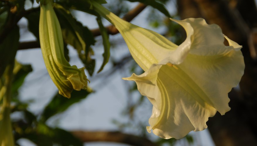 Angel trumpets open their flowers at dusk.