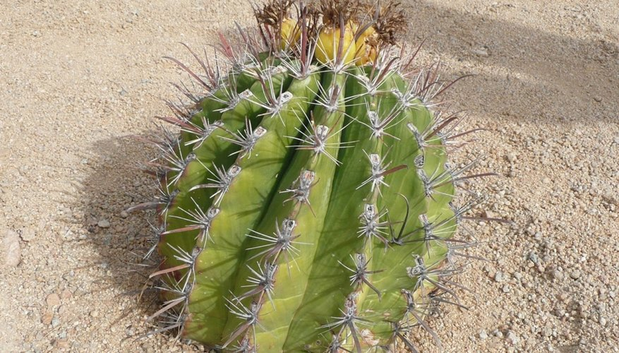 Take note of which direction the crown faces before moving a barrel cactus.