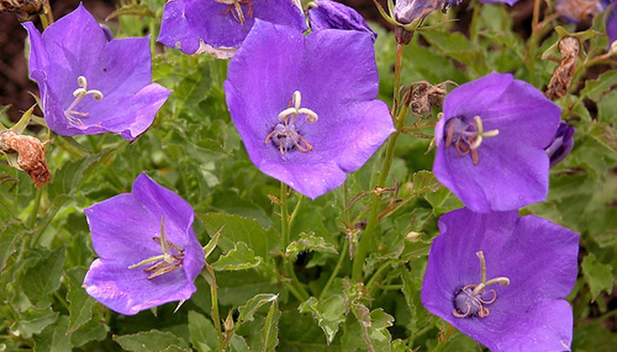 Balloon flowers can be blue, white or pink in color.