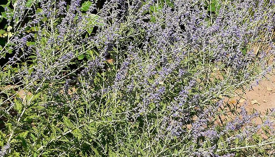 Russian sage in bloom.