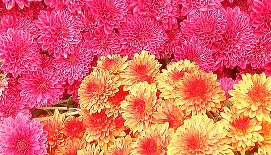 Hardy mums add color to the garden in fall.