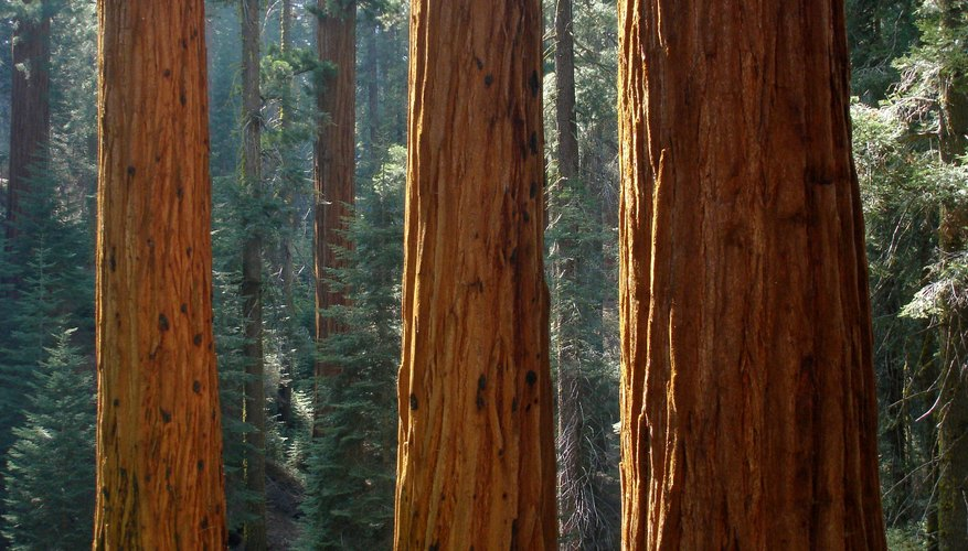 The mighty redwood grows over 200 feet.