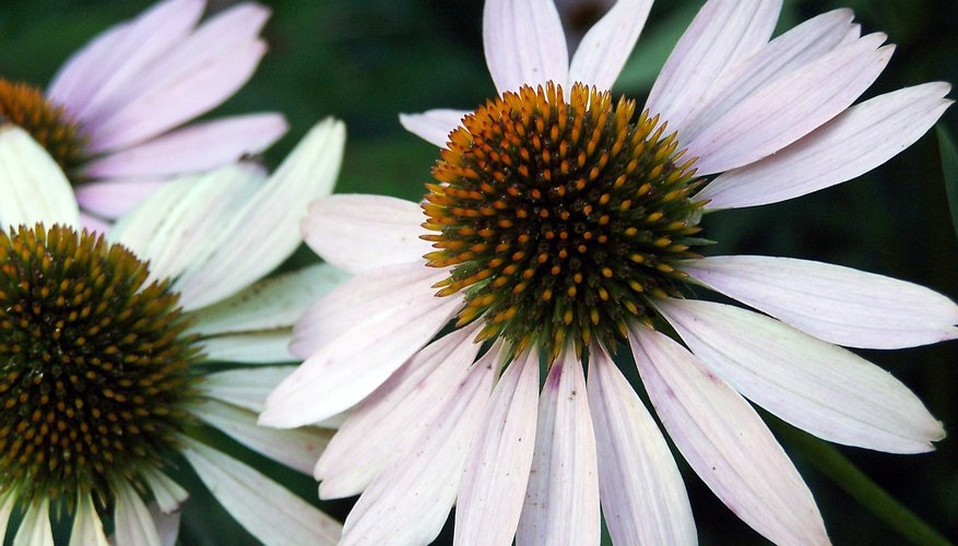 Coneflowers are great addition to any garden.