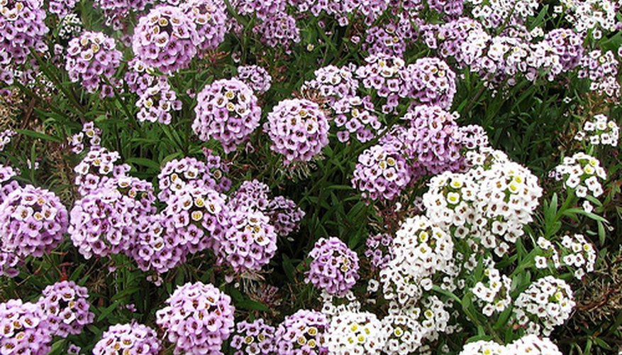 Alyssum flowers come in a variety of different colors.