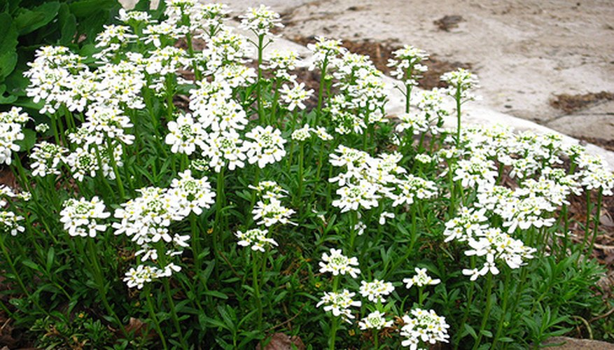 Candytuft plants can reach one foot in height.