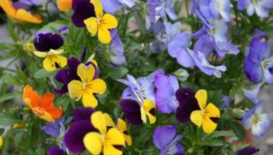 Encourage lush flowers by deadheading pansies regularly.