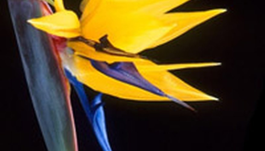 Strelitzia reginae, the bird of paradise, is an international symbol of natural Hawaiian beauty