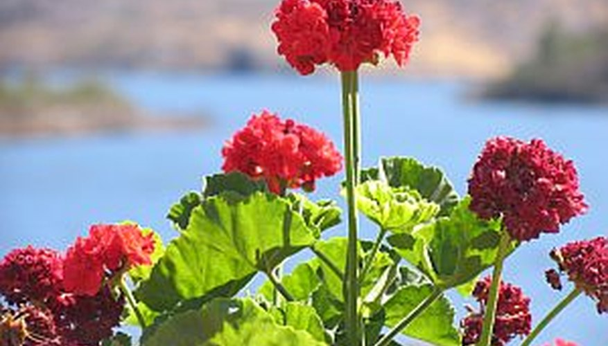 Plant geraniums in containers or flowerbeds for a splash of bright color.