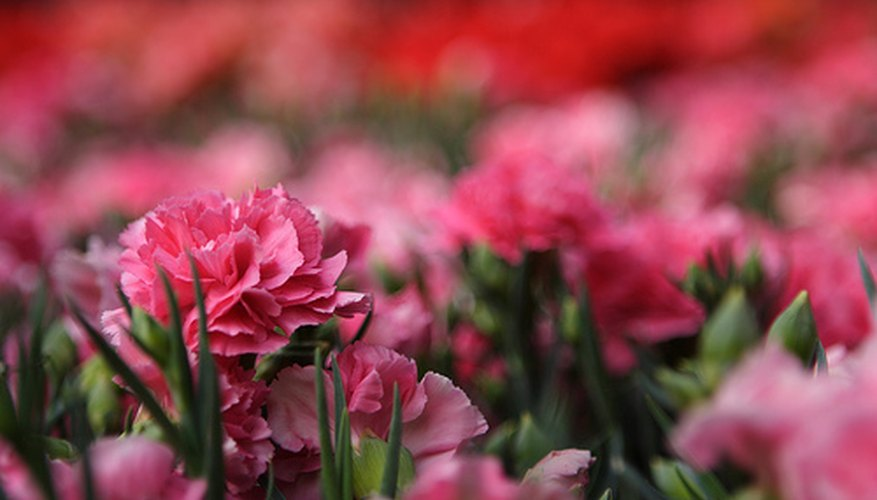 Floral carnations are grown in a controlled environment.