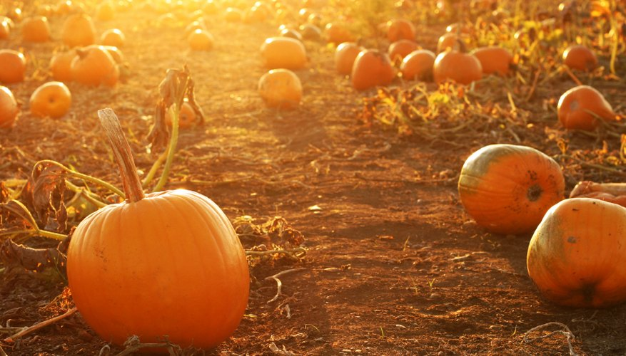 Pumpkins waiting for harvest