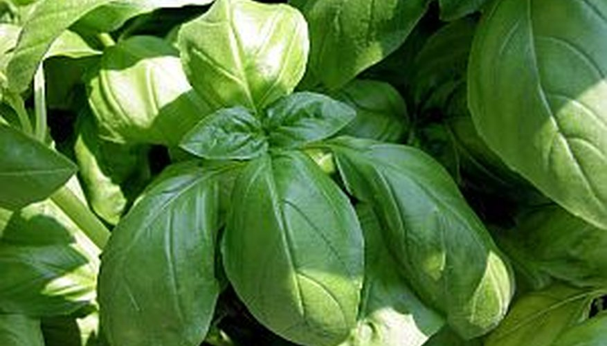 Trim a basil plant often during the growing season to encourage healthy growth