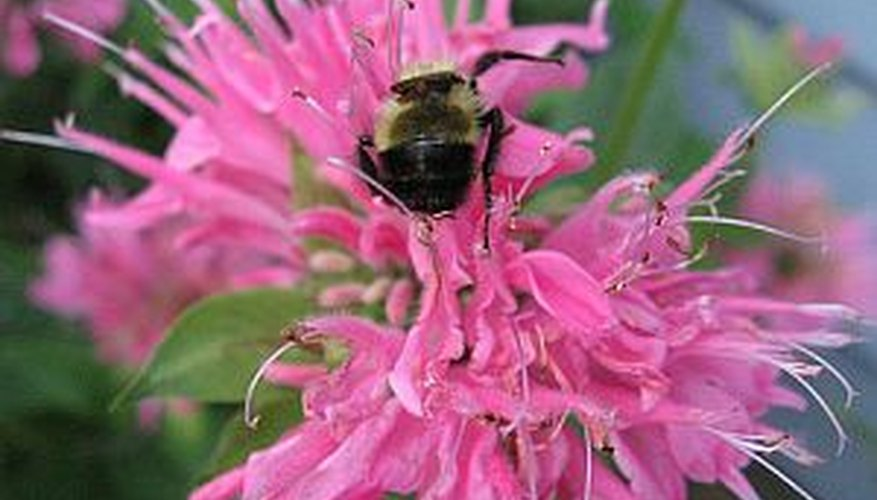 Grow bee balm from seed for a beautiful addition to your flower garden.