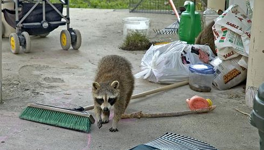 How To Repel Raccoons Garden Guides