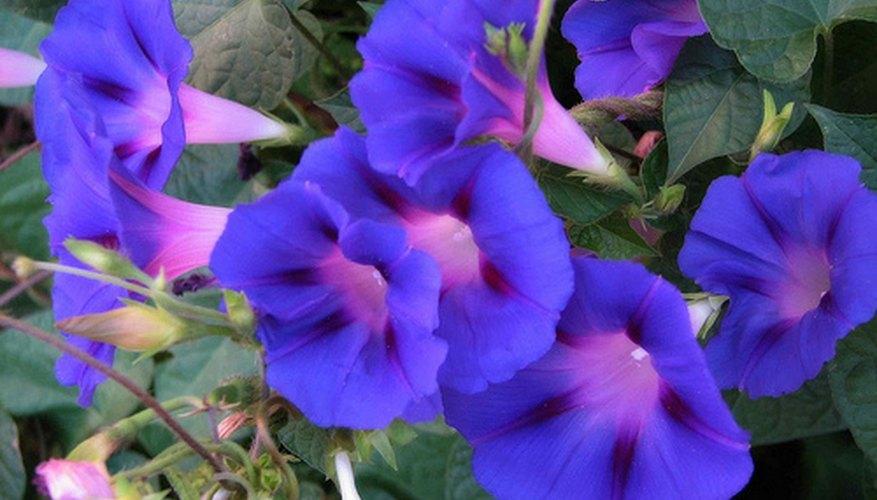 morning glory vine plant