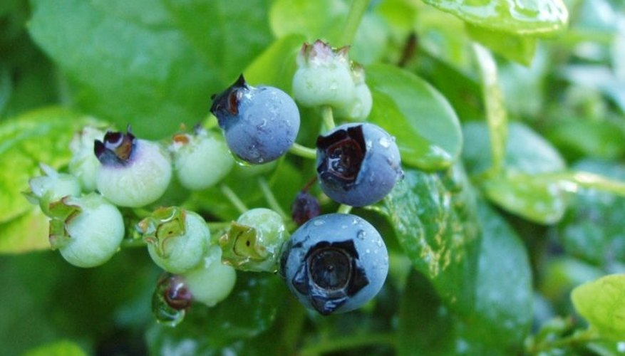 Growing blueberries takes some finesse.