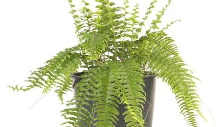 The fronds of Boston fern arch over the edge of the pot and hang down gracefully.