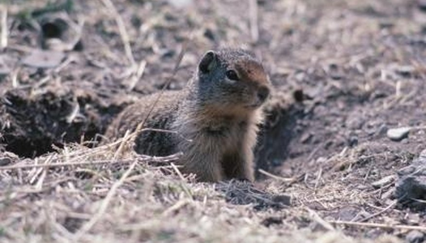 Gophers are notorious yard pests.