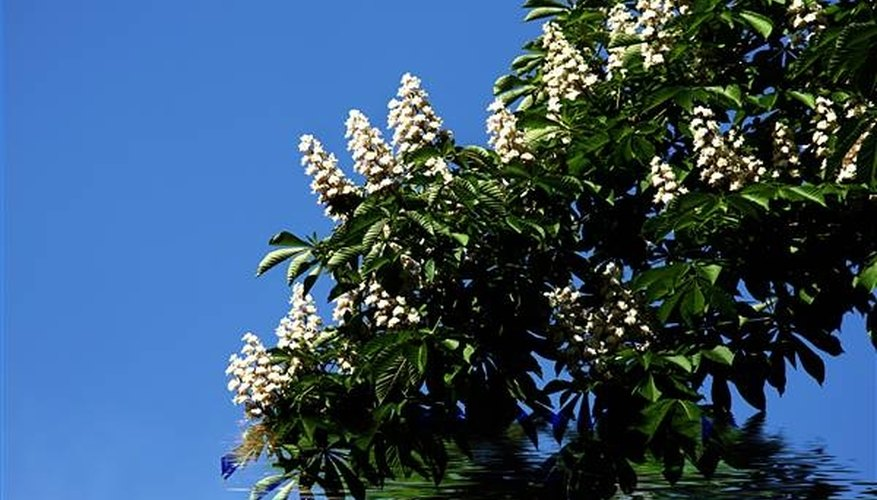 Facts About Horse Chestnut Trees