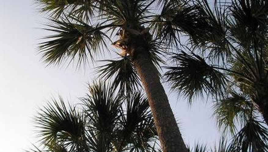 Cabbage Palm Tree Facts