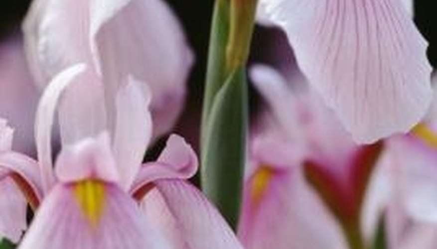 Irises are available in a variety of types and colors.
