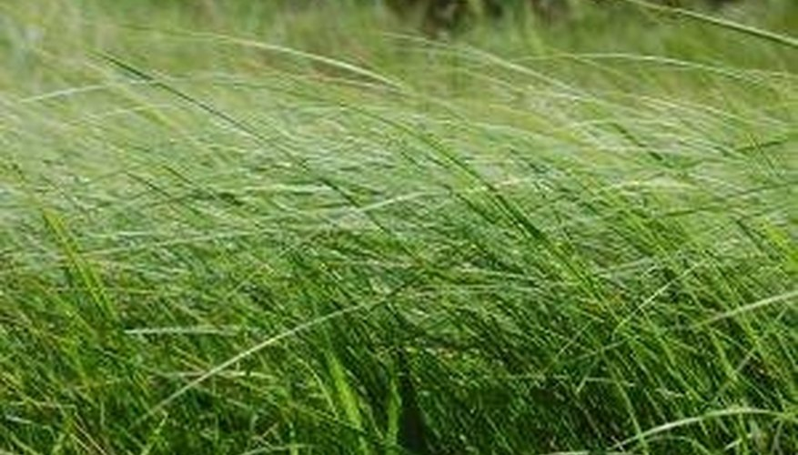 Grow Wheatgrass Hydroponically