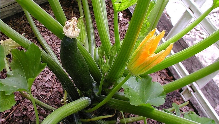 Zucchini Plant Diseases