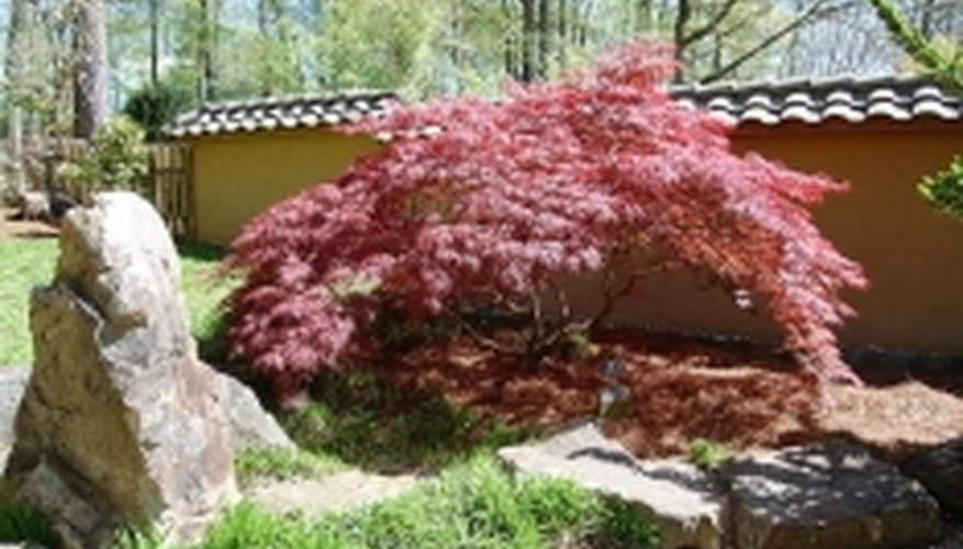 Japanese red maple in the Japanese Garden at Birmingham Botanical Garden in Alabama