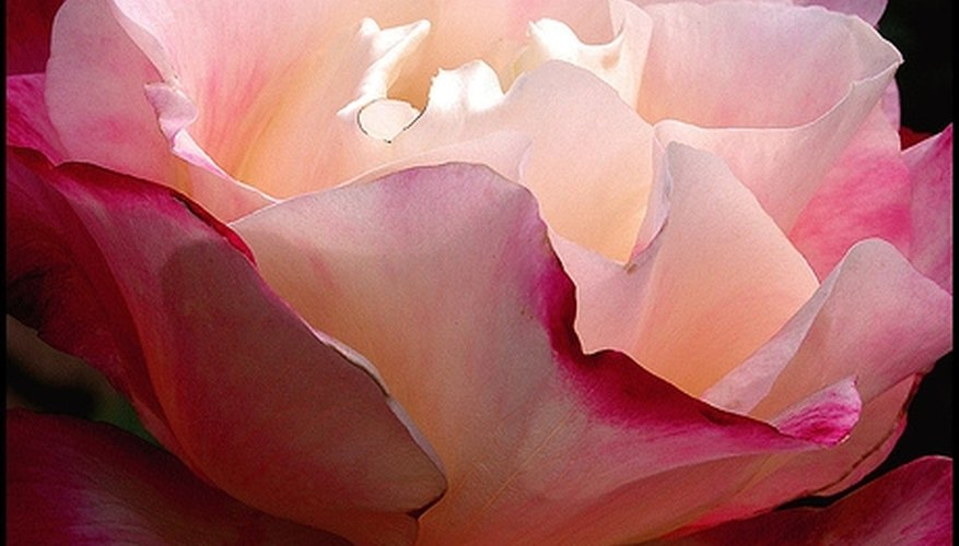 Unfolding pink rose