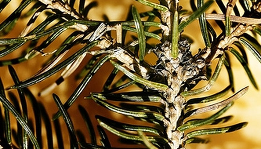 Maintain the health of spruce trees by addressing mite infestations