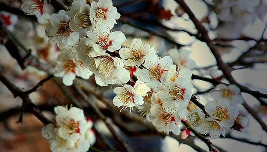 All plum trees produce pretty flowers, but not all form fruits.