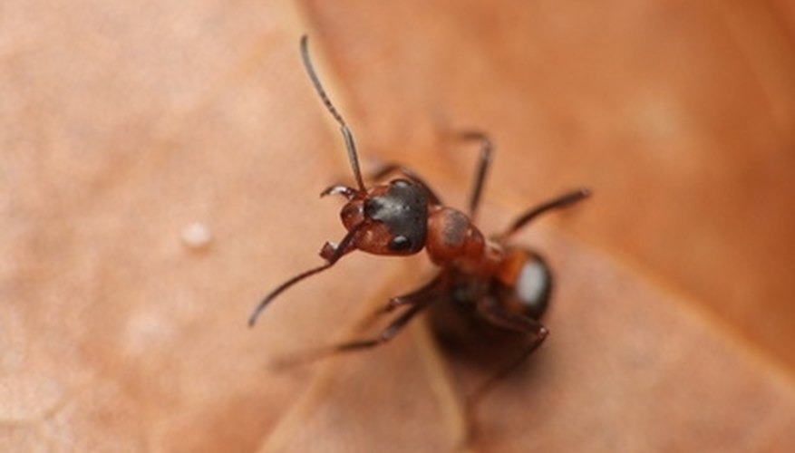 Red fire ants are aggressive and have a painful bite.