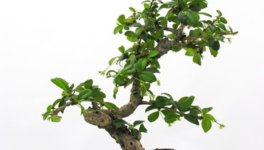 Diligent care keeps bonsai trees healthy.
