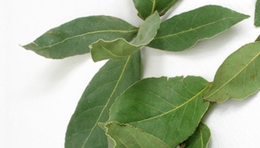 The leaves of a bay tree are commonly used to season stews and soups.