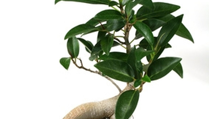 The Care of Ginseng Ficus Bonsai Plants | Garden Guides