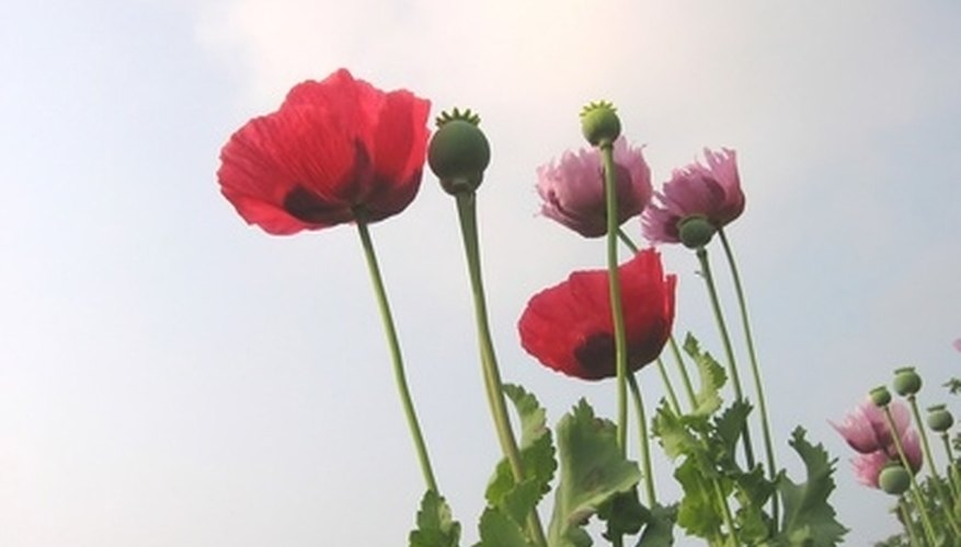 Gardeners in most climates have poppy flowers to choose from.